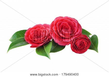 Camellia isolated on white background. Spring Japanese flower with a saturated red color. Bouquet of red camellia all elements are isolated and editable. Camellia brooch sticker patch poster