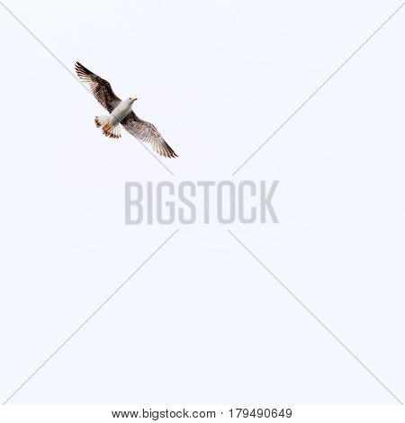Seagull. Larus argentatus with open wings flying in the sky.