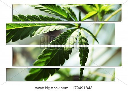 Marijuana Plant Close Up Art High Quality