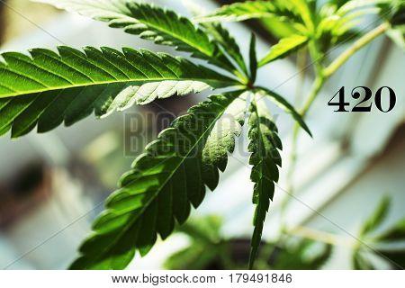 Marijuana Plant Close Up With 420 High Quality