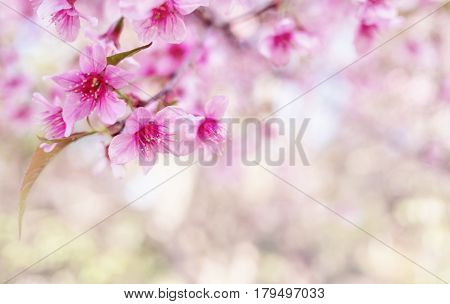 Close-up image of wild himalayan cherry bouquet (Sakura of Thailand) on blurred bokeh background in high key tone with copy space Selective focus