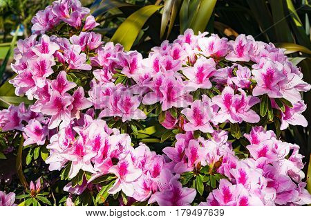 Bright Pink Flowers Of Alstroemeria Or Peruvian Lily
