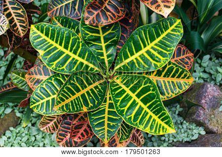 Garden Croton Plant Striking Foliage Background