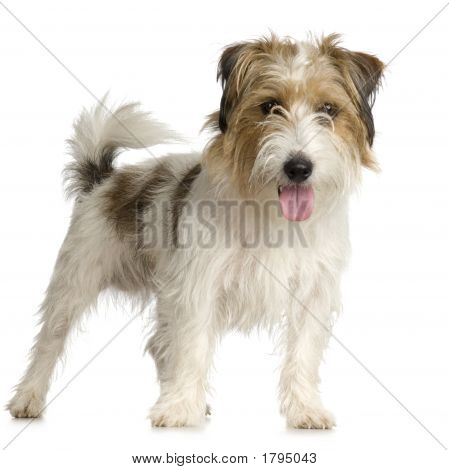 Jack Russel Long Haired ( 1 Years )