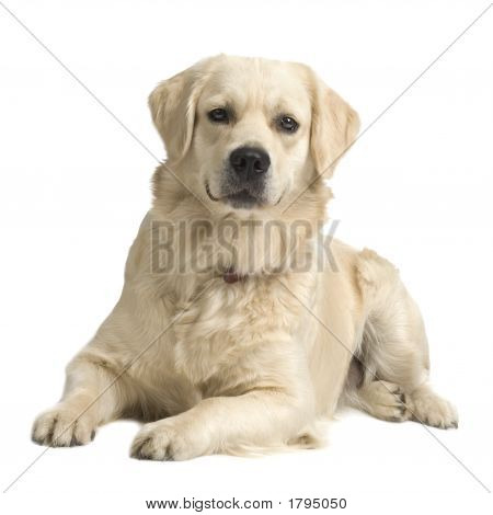 Labrador Retriever Cream ( 18 Months )