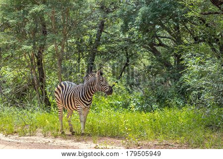 Burchells zebra standing on the side of a dirt road