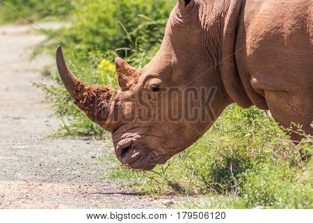 Closeup of white rhinoceros in Marakele national park