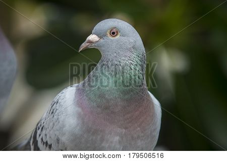 close up beautiful eys of speed racing pigeon bird against green natural background