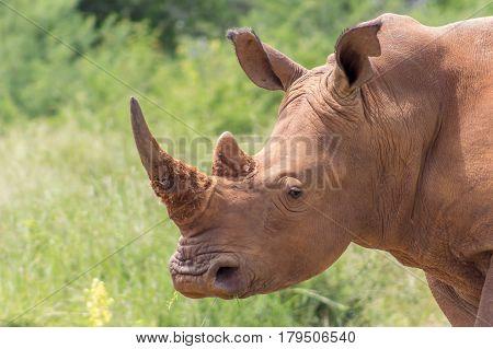 White Rhinoceros ( Ceratotherium Simum)