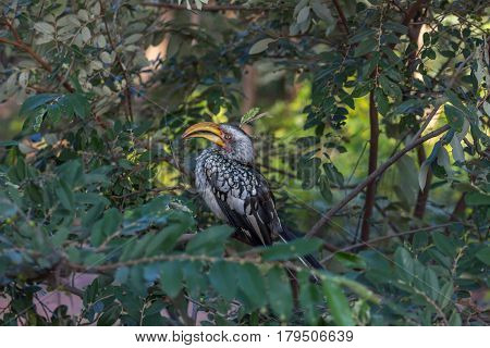 Southern yellow billed hornbill sitting on tree