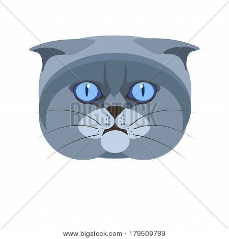 Highland scottish fold britain breed of grey cat isolated on white. Vector colorful illustration of young exotic domestic animal with small ears, round blue eyes, surprised look. Flat design of kitten