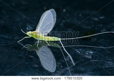 Close up female Mayfly with reflection on mirror
