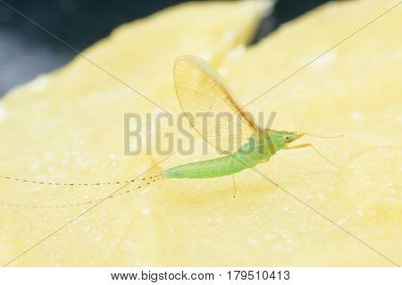 Super nacro female mayfly on candle sheet