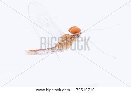 Super macro male Mayfly isolated on white background