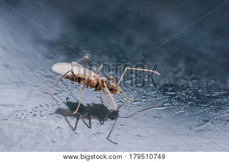 Super macro  flying ant with reflection on mirror