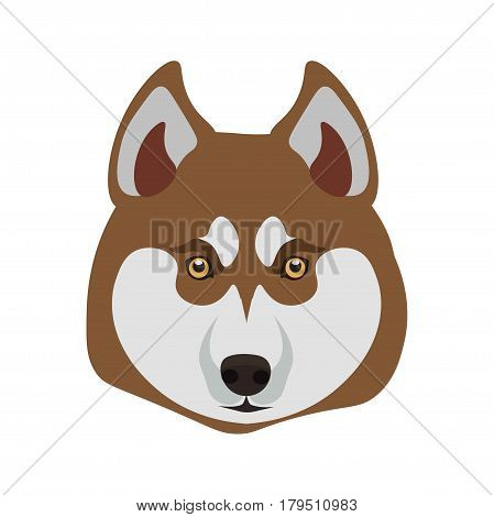 Siberian Husky purebred breed close up dog portrait on white. Isolated domestic animal head with small round hazel eyes, black nose, light grey and brown hair vector illustration in flat design