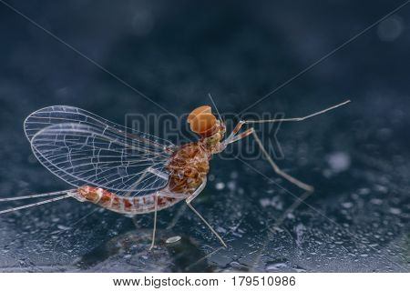 Super macro beautiful male Mayfly on mirror