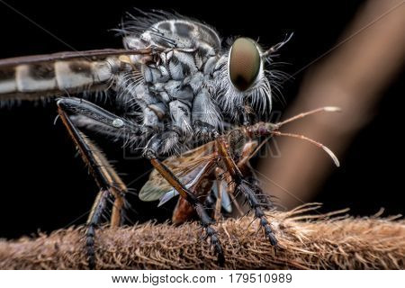 Super macro Robber fly catching prey on branch