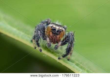 Thyene imperialis or jumping spider on green leaf