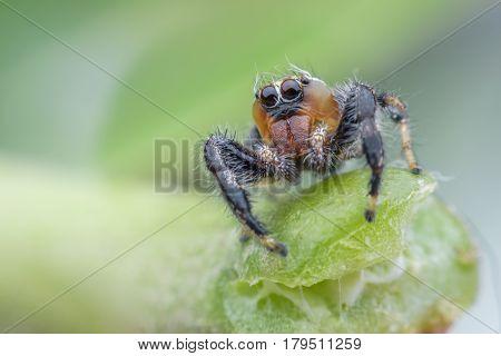 Thyene imperialis or jumping spider on stem
