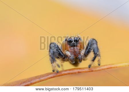 Super macro of jumping spider or Thyene imperialis