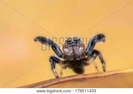 Thyene imperialis or jumping spider on leaf