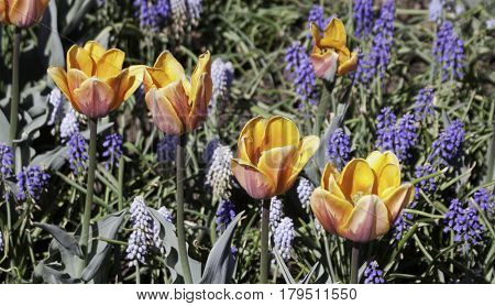 Wide view of four yellow/orange/coral open faced tulips on a diagonal on a bright sunny day in May at the International Tulip Festival in Ottawa, Ontario.