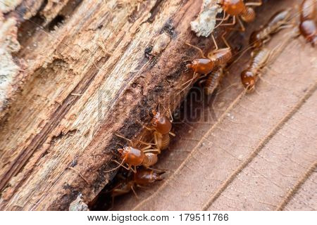 Termites eating rotted wood in the forest