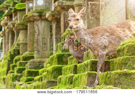 Young deer in Nara Park Japan. The deer the symbol of the city of Nara roam freely and are considered in Shinto to be the messengers of the Gods.