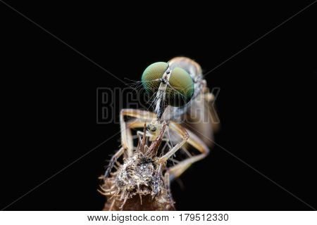 Close up Robber fly catching prey with black background