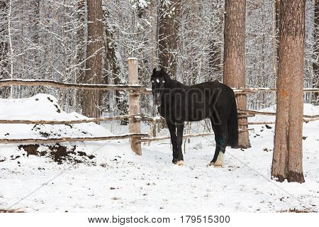 The crow horse in winter standing in snowy paddock Horizontal outdoors shot.