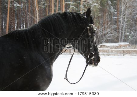 The crow horse walking in paddock in winter forest. Horizontal outdoors shot.