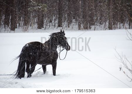 The crow equine walking in the forest in winter. Horizontal outdoors shot.