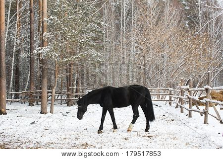 The graceful crow horse walking in the paddock in winter forest.