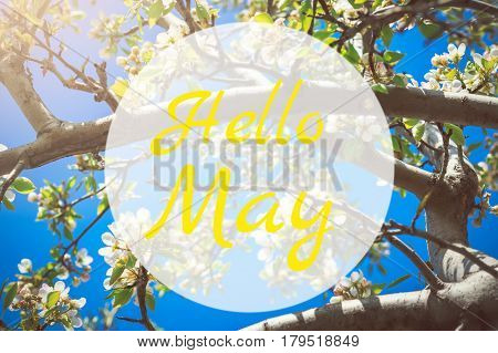 Hello May greeting card with blooming white apple tree flowers in background