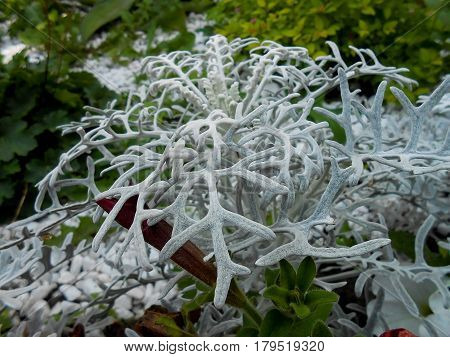 Fresh Terry Silvery Leaves Cineraria