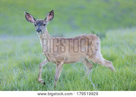 Black-tailed Deer (Odocoileus hemionus) Fawn. Santa Clara County, California, USA. Black Tailed Fawn in Lush Meadow at Rancho San Antonio County Park.