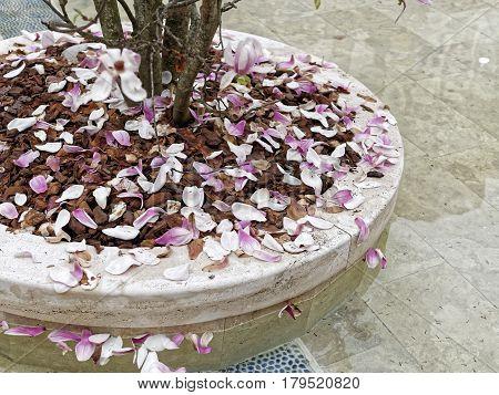 detail of japanese magnolia in piazza vcerdi la spezia