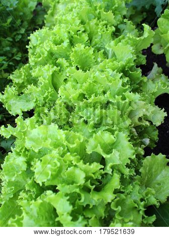 Curly leaves of green cabbage lettuce growing in the garden.