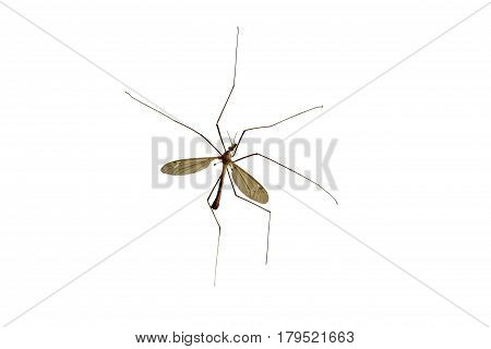 Tipulidae. Large mosquito isolated on a white background.