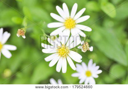 white daisy flower in the garden , daisy