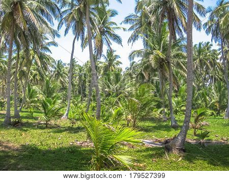 Forest of palm trees coconut in Samana Peninsula that surrounds the Playa Rincon in the northeast of the Dominican Republic. Coconut palms in the Caribbean peninsula.