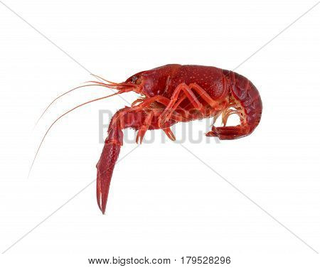 isolated red raw crayfish on white background
