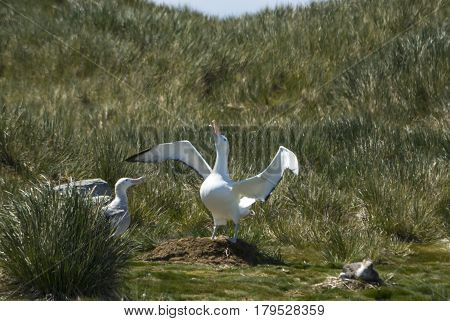Wandering Albatrosses on the nest in South GEorgia