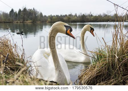 Close-up of two white Swans. Beautiful Swans (Cygnus) at the Lake. Animals in the wild. View on two Swans in love.