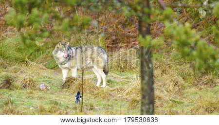 One gray wolf stands in the woods guarding a piece of meat. Carnivore in the forest.