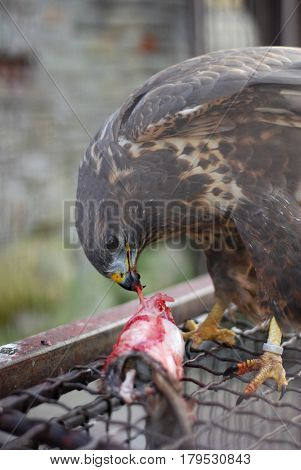 Bird of prey, Common buzzard, Buteo Buteo eating rat