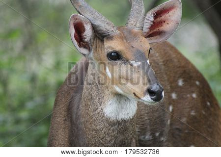 African Bush buck shows off beautiful spots