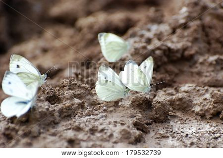 Green-veined White, Pieris napi, butterfly on the ground