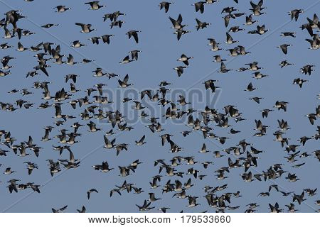 Big flock of barnacle geese in flight with blue skies in the background